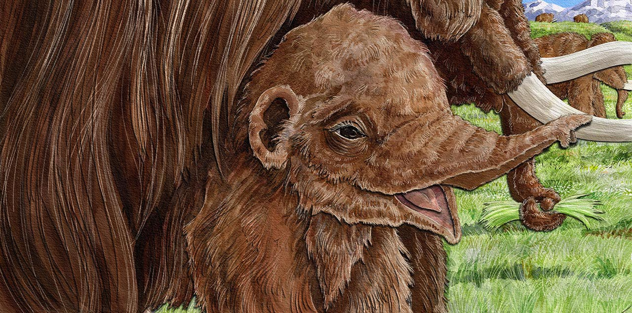 children's book illustration of baby woolly mammoth peeking out from her mama's belly