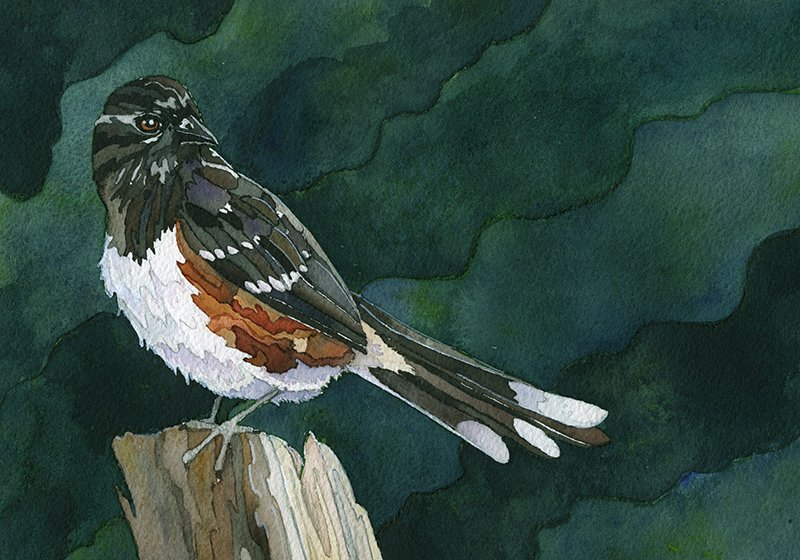 painting of towhee