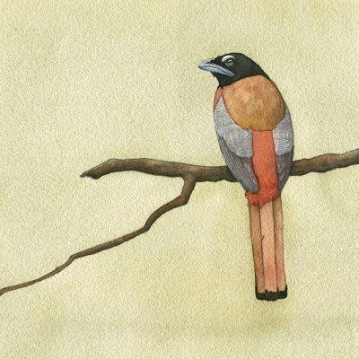 scarlet backed trogon