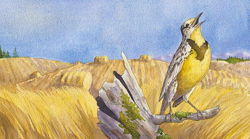 watercolor painting of a singing meadowlark